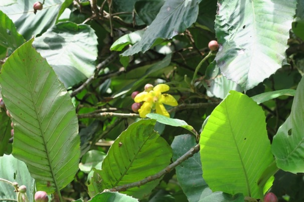 Bunga Simpur