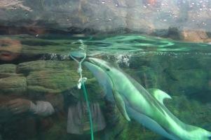 Osaka-Aquarium-Kaiyukan-dolphin